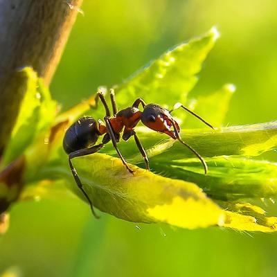 Hormiga de fuego u hormiga roja