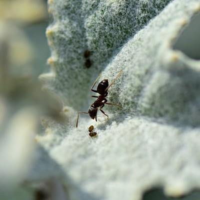 Hormiga argentina