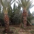 Poda palmeras