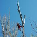 Apeo de rama controlada