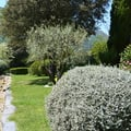 Poda oliveras