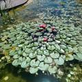 Nenúfar en un estanque.