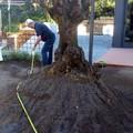 Plantación de un Olivo centenario