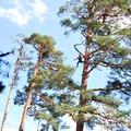 Podas en altura en pinos silvestres de mas de 35 mts.