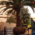 Trasplante de palmera