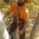 tala controlada de pino