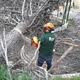 Tala de pino caido
