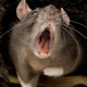 Sanydes tratamientos roedores