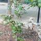 Plantación de magnolias.