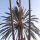 Poda de palmeras de gran altura