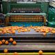Linea de clasificación y envasado de cítricos en industria de manipulación de cítricos