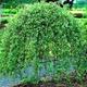 Salixcarpea