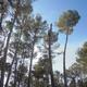 Tala por secciones de un pino carrasco de 20 metros de altura