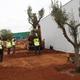Transplante Olivos y mantenimiento ajardinamiento