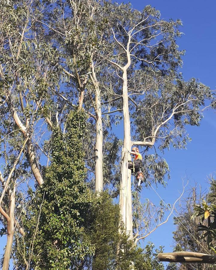 Tala de eucalipto de 20 metros