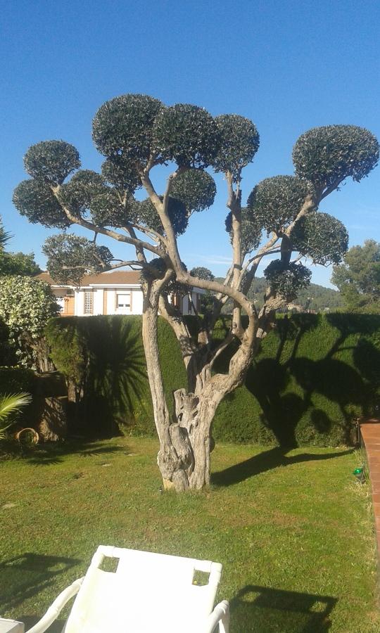 Poda de olivos decorativos