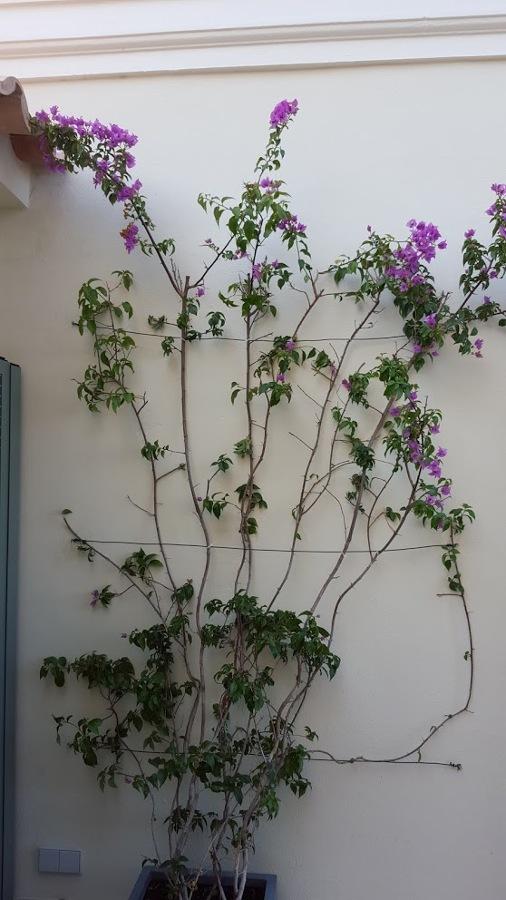 bouganvilia en pared