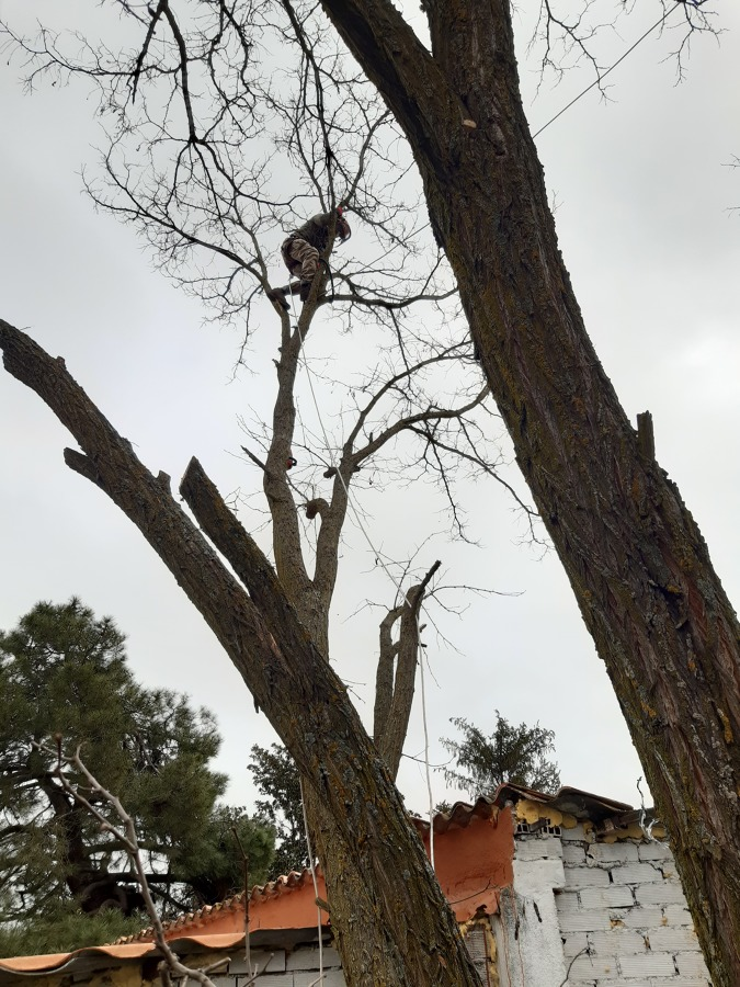 Poda severa falsa acacia (Robinia pseudoacacia)