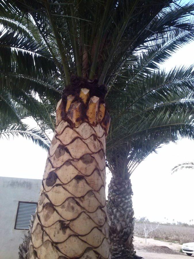 Cepillado de palmera