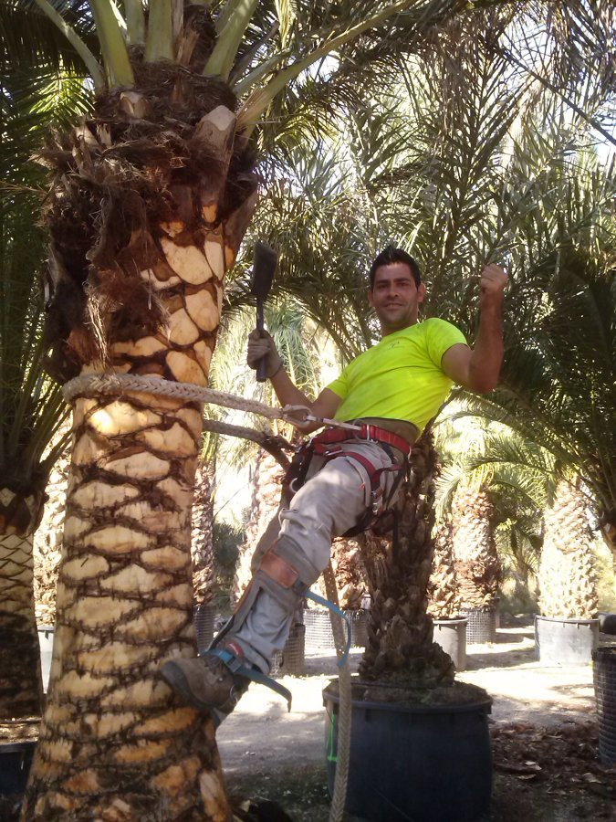 Cepillado de palmera canaria