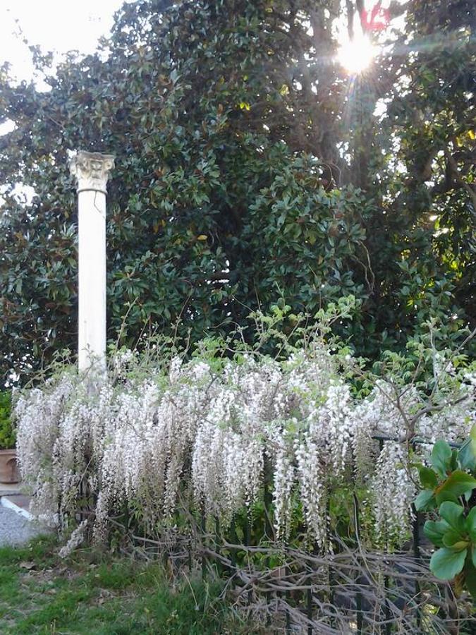 Glixinia. Planta trepadora. Ideal para terrazas y jardines