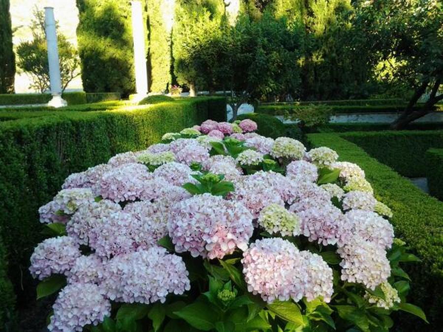 Macizo hortensia rosa