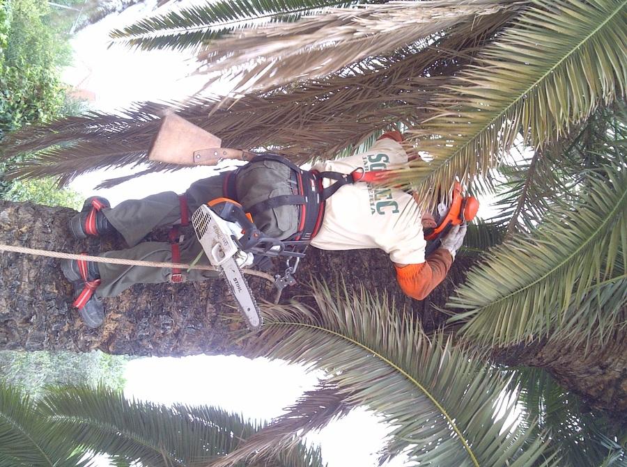 Foto poda de palmeras de soltec jardineria 954333 - Soltec murcia ...