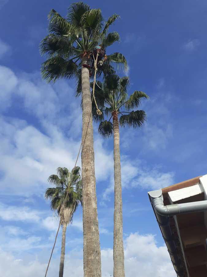 Talando palmeras