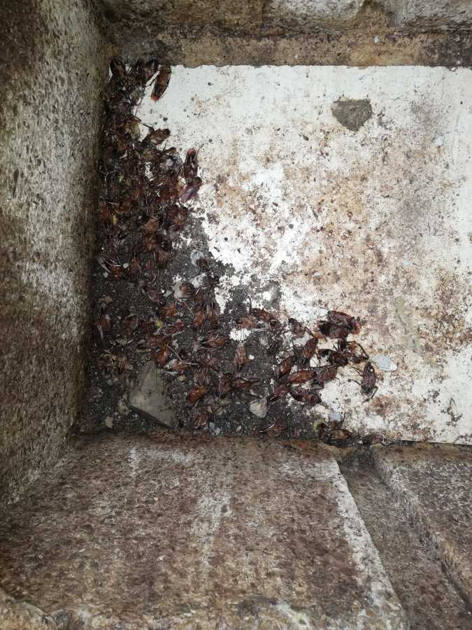 Sumidero cucarachas