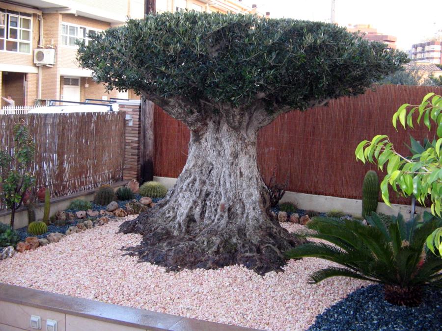 Foto olivo centenario en jardin privado de jarditec s c - Fotos de jardines decorados ...