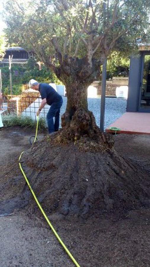 Foto plantaci n de un olivo centenario de jardiner a for Jardineria moral barcelona