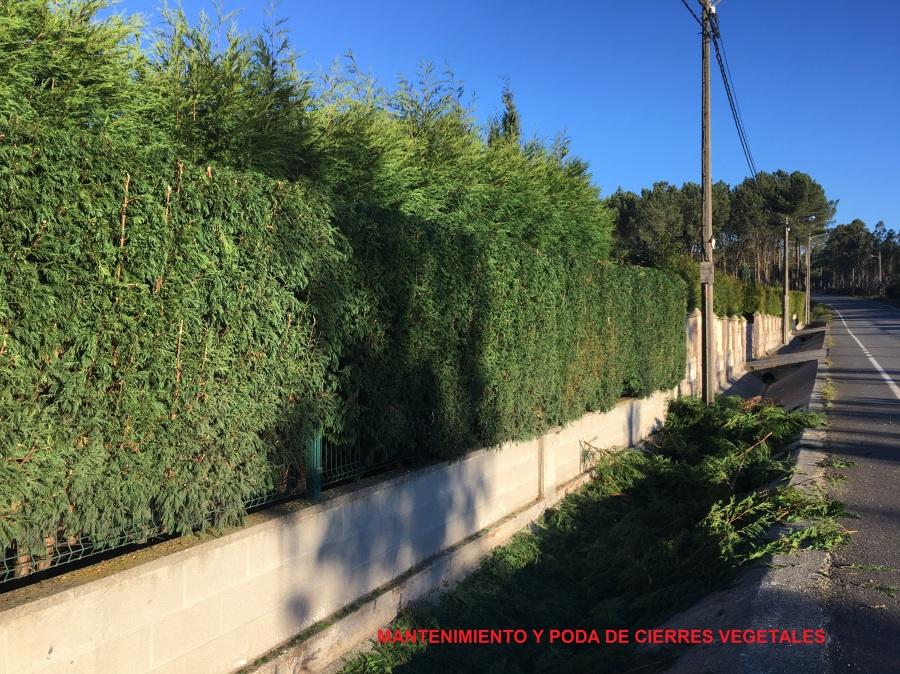 Poda de cierres vegetales y planta ornamental