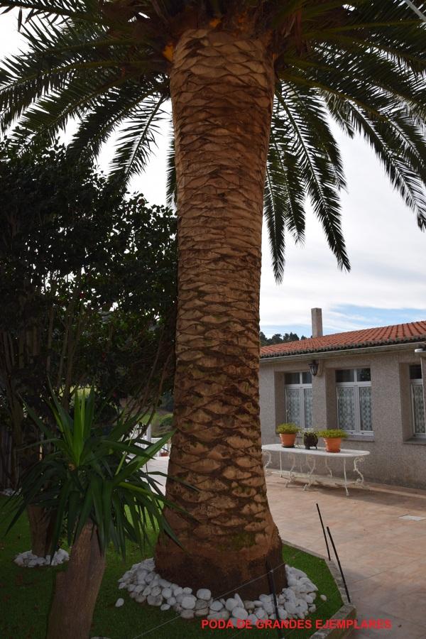 Poda de palmeras y grandes ejemplares