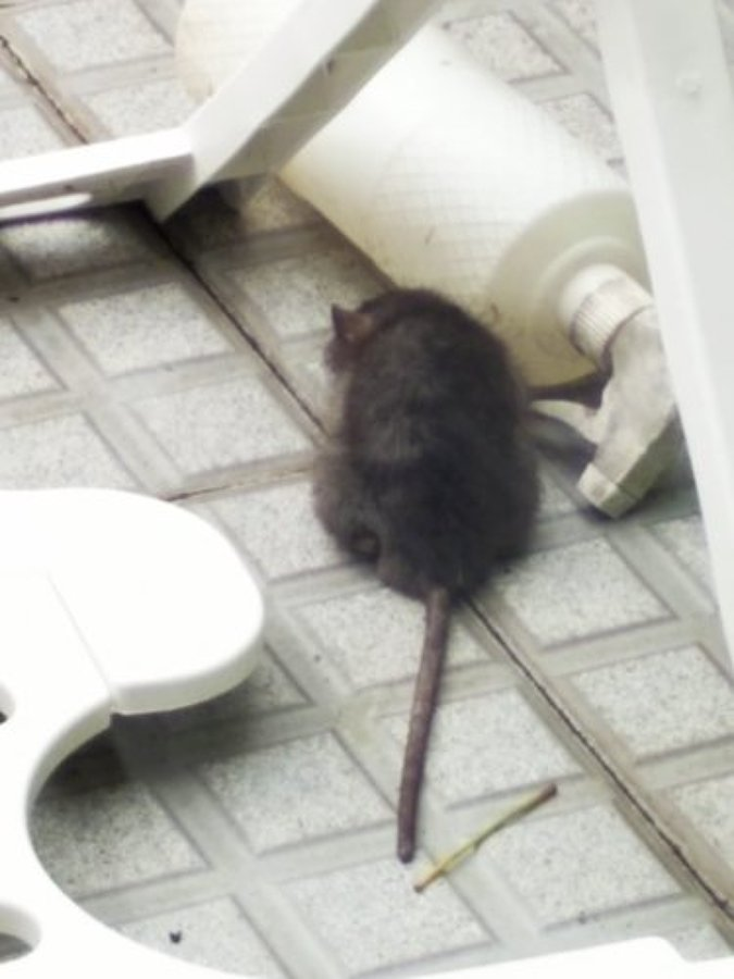 Rata intoxicada Bromadilona
