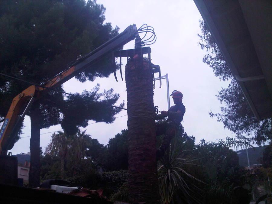 Tala de palmera afectada por plaga morrut