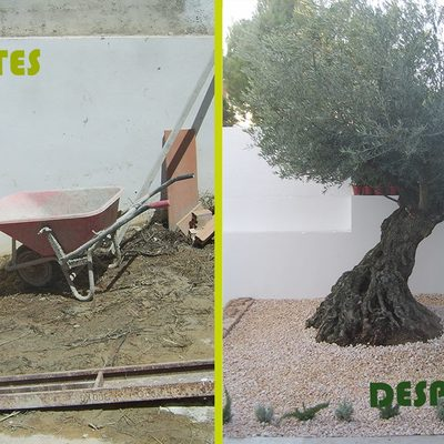 Plantacion y creacion de espacio con olivo centenario