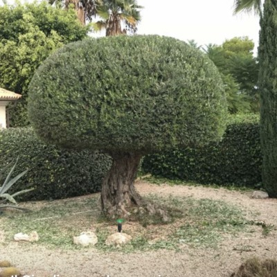 Olivo topiary