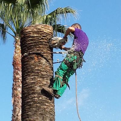 Derribo controlado de palmera infectada de picudo rojo