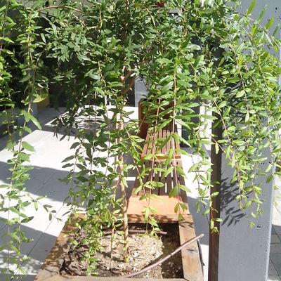 plantacion de Granado