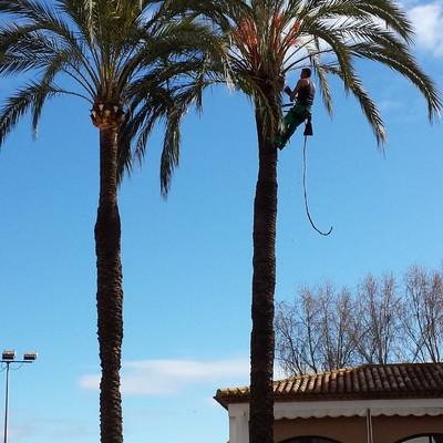 Poda de palmeras en Hotel Barcelo Isla Canela.