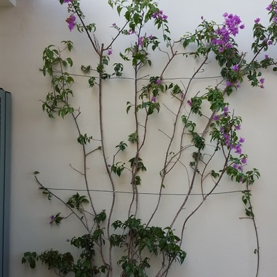 bouganvilia en pared