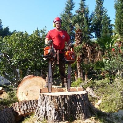 Tala pino gigante en benicasim