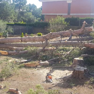 Cortar pinos arrancados por el viento
