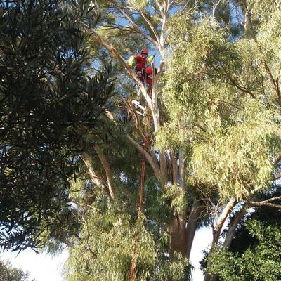 Tala controlada de eucalipto de gran tamaño y altura