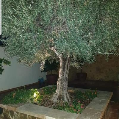 Iluminiación de olivo