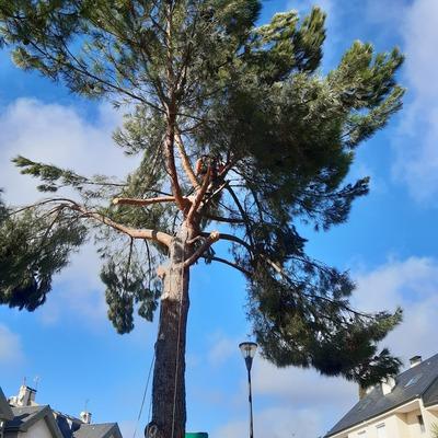 Poda en altura de pino piñonero (Pinus pinea)