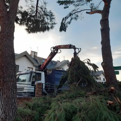 Retirada restos de poda en altura de pino piñonero (Pinus pinea)