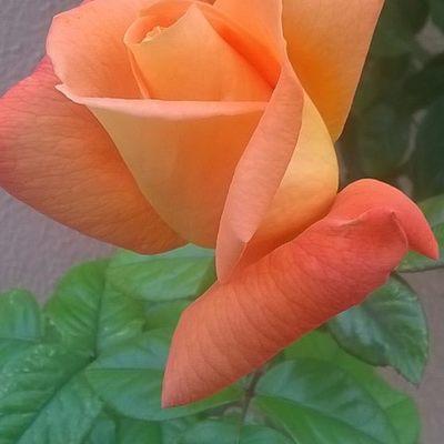 Cuidado de rosales