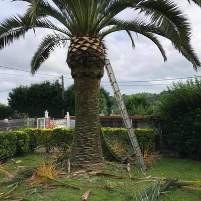Poda de palmeras en altura