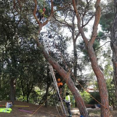 Poda de rama seca en pinos.